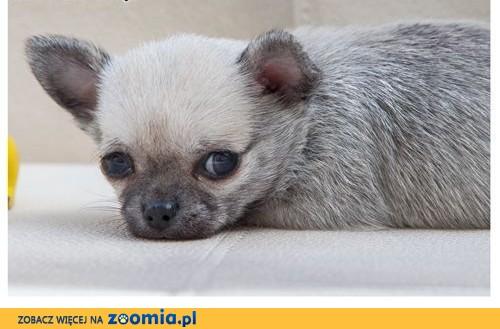 Chihuahua szczeniaczek, rodowód ZkwP/FCI, malutki szczeniak o imieniu Sovik ,  łódzkie Łódź
