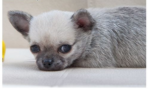 Chihuahua szczeniaczek  rodowód ZkwP/FCI  malutki szczeniak o imieniu Sovik    łódzkie Łódź