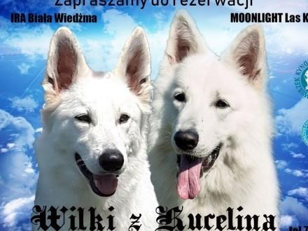 Biały Owczarek Szwajcarski FCI ZKwP