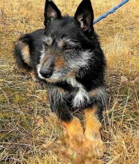 SIWEK - nieduży  kochany psiak w typie sznaucera do adopcji   małopolskie Kraków