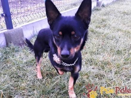 WHITNEYEK-malutki  wesoły  pogodny psiak szuka dobrego domu  adopcja