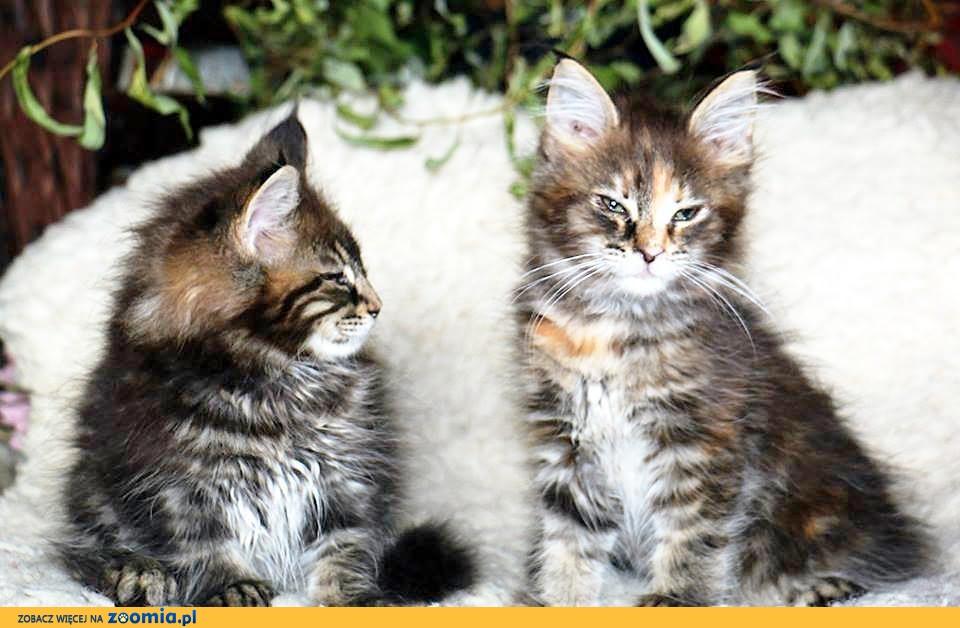Kotki koty Maine Coon rasowe z rodowodem FPL Alehandro*PL
