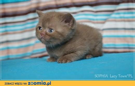 Cynamonowa kotka brytyjska kocięta brytyjskie rodowód WCF,  mazowieckie Grójec