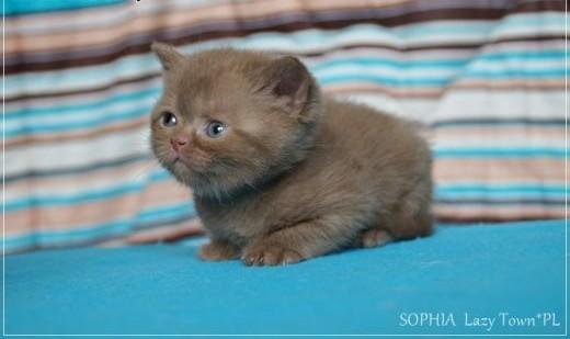 Cynamonowa kotka brytyjska kocięta brytyjskie rodowód WCF   mazowieckie Grójec