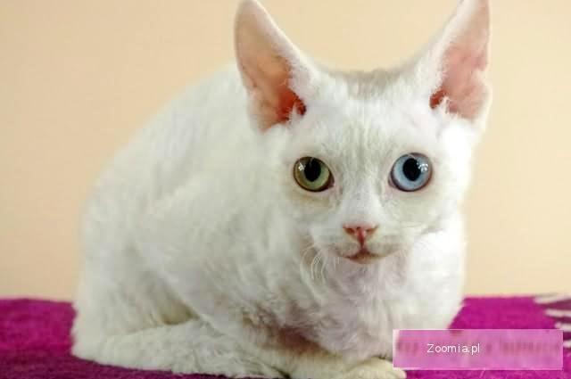 Śliczna Koteczka Biała RÓŻNOOKA WARSZAWA