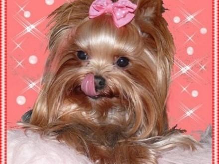 York  Yorkshire Terrier! PIĘKNA DOROSŁA MINI SUNIA!    małopolskie Kraków