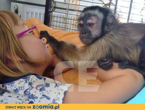Małpka kapucynka młoda oswojona