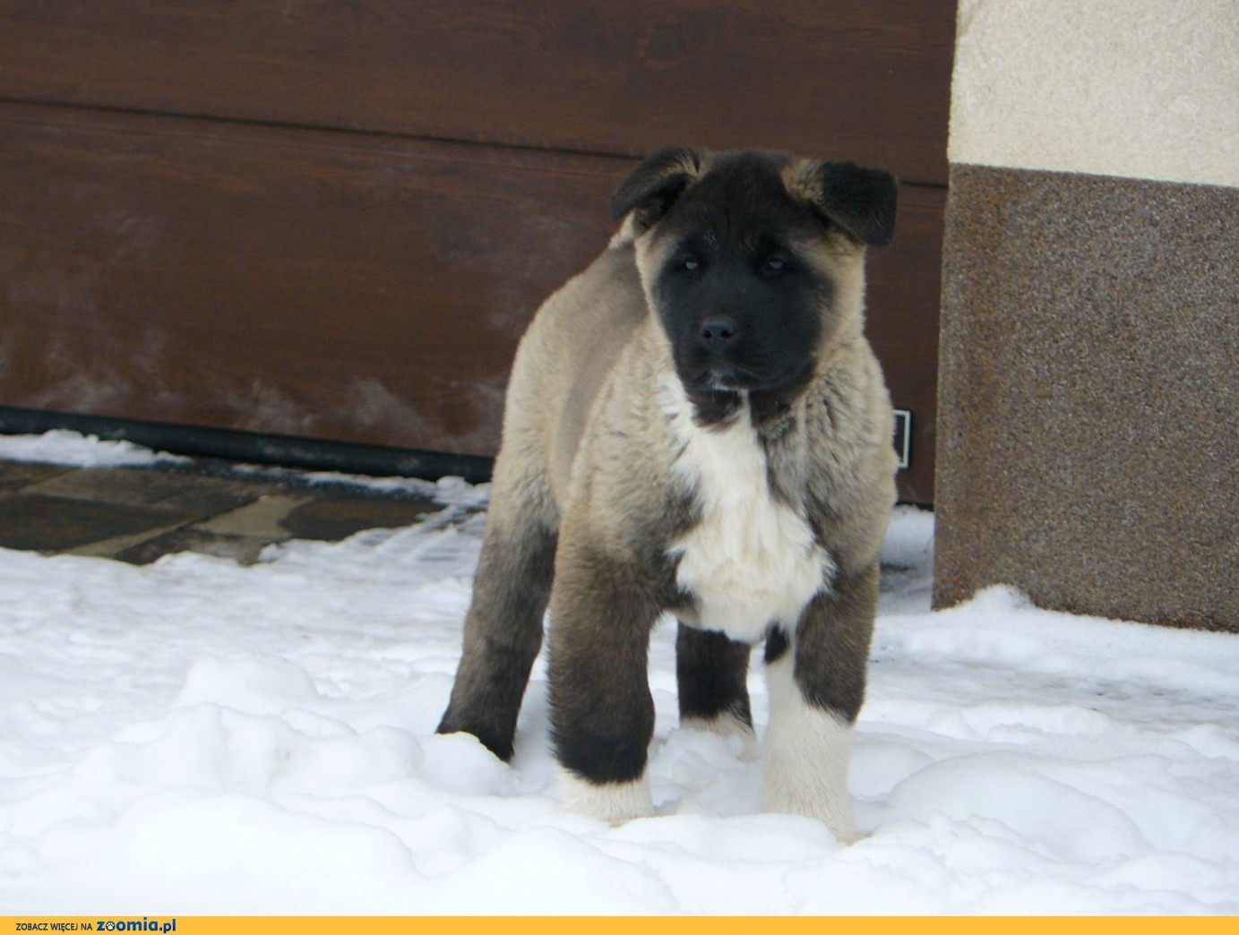 Akita Amerkańska ZKwP Pies