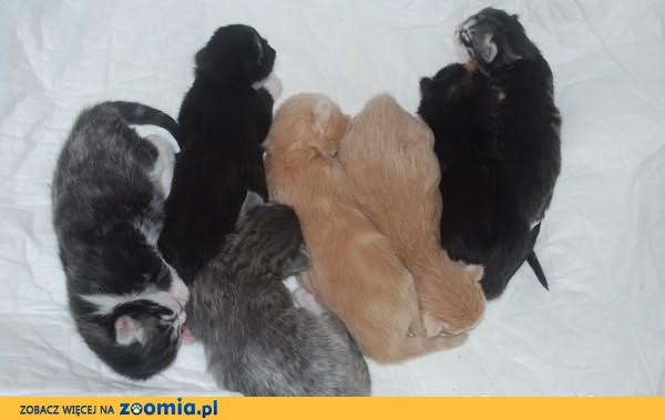 Kocięta norweskie leśne
