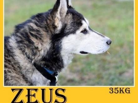 4 lata husky duży łagodny spokojny towarzyski pies ZEUSAdopcja   mazowieckie Warszawa