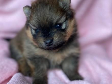 Pomeranian Szpic Miniaturowy prześliczne suczki