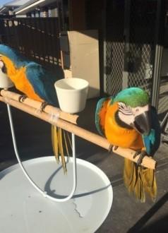 Niebieskie i złote papugi Ara