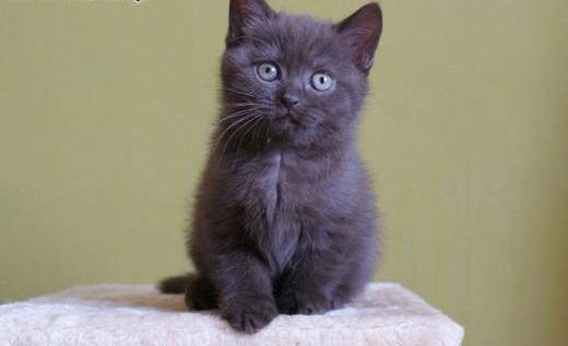 HAPI czekoladowa kotka brytyjska jak miś - rodowód FIFE   wielkopolskie Kalisz