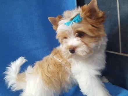 York-Golddust Yorkshire Terrier