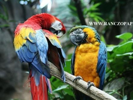 ara ararauna błękitna chloroptera macao nobilis catalina kakadu alba inka amazonka niebieskoczelna żółtogardłaorartrix
