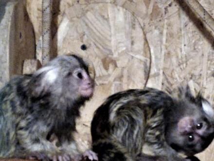 Małpki Marmozeta Białoucha - rodzina 2 + 2