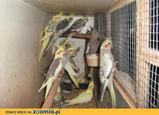 sprzedam nimfy,  Papugi nimfy cała Polska