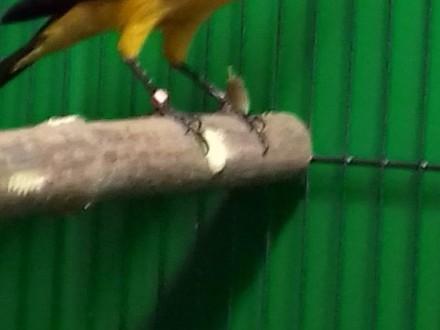 Błyszczak Królewski (Lrotornis regius)-Kupię samicę