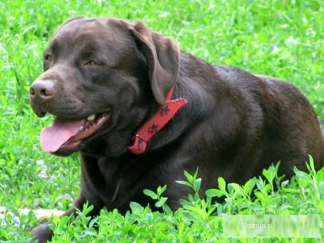 Labradory szczeniaki labrador