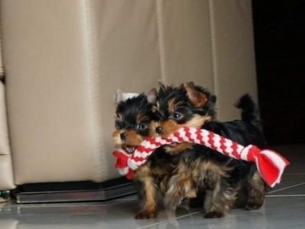 Yorki piesek KOMPLET SZCZEPIEŃ Yorshire Terrier York