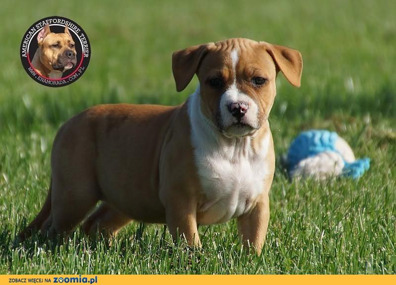 American Staffordshire Terrier Amstaff Amstaf suki FCI