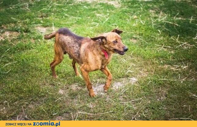 Rupi - niewielki i zrównoważony psiak wciąż czeka na swój dom,  Kundelki cała Polska