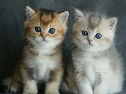 Piękne Kocięta Brytyjskie Złote i Niebiesko Złote Drizzle*PL FIFe