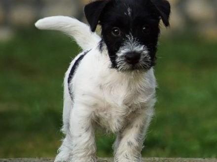 Jack Russell Terrier 3 miesięczny szczeniak hodowla FCI / ZKwP