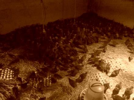 Kurki zielononozki