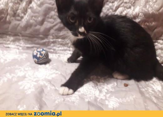 Koteczka Klapka szuka domu,  łódzkie Łódź