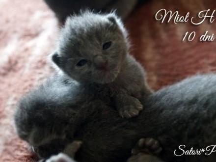 Rosyjskie Niebieskie - śliczne kocieta