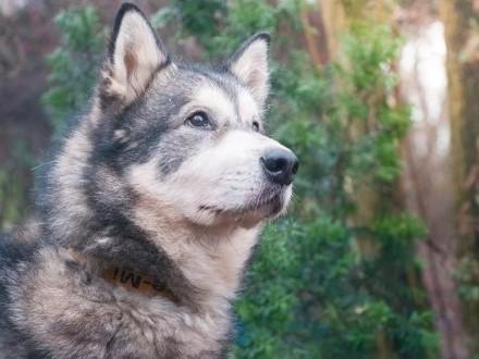 AXEL-malamut- dla doświadczoego opiekuna