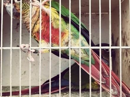 Sprzedam papugi rudosterki