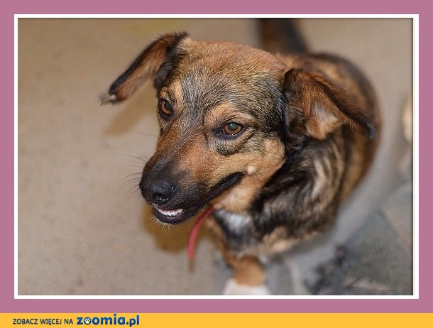 Trójłapek POLEK, 2 letni, przesympatyczny,łagodny,towarzyski psiak_Adopcja