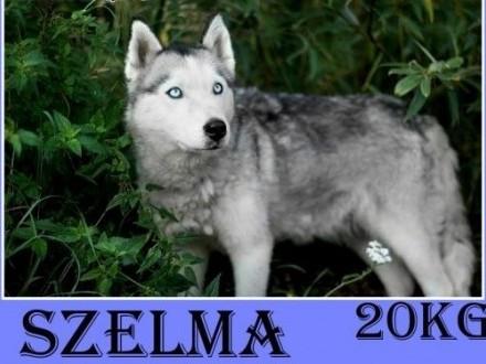 Husky 20kg młoda 2 lata grzeczna tulaśna suczka SZELMAAdopcja   dolnośląskie Wrocław