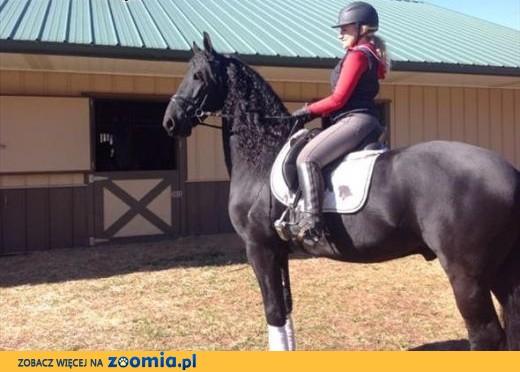 Fryzyjskiej wałach koń,  Konie fryzyjskie cała Polska