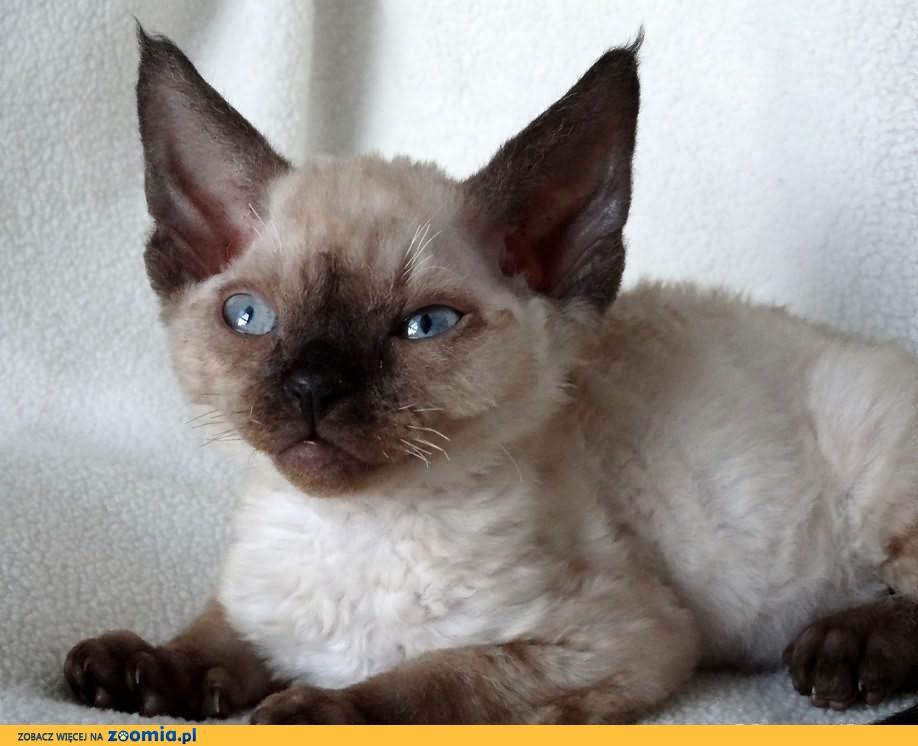 ArtemidaRex*Pl - hodowla kotów Devon Rex - Trójmiasto