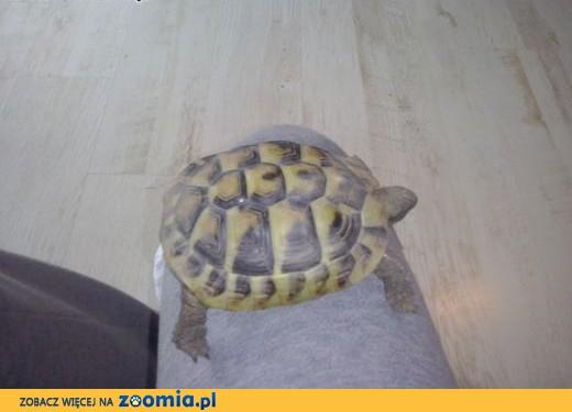 Żółw Grecki sprzedam CITES,  śląskie Rybnik