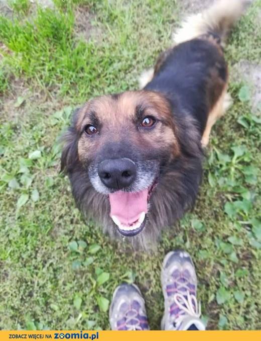 Puchacz - pies puchatek, na krótkich łapkach, kocha człowieka nad życie,  dolnośląskie Wrocław