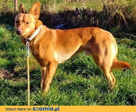 MIKUŚ - 2,5 letni, delikatny i wrażliwy psiak szuka domu,  mazowieckie Warszawa