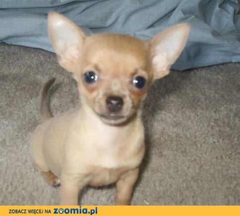 Dwa Chihuahua Szczenięta już dostępny,  świętokrzyskie Busko-Zdrój