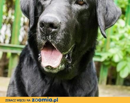 Gryzli w typie labradora szuka odpowiedzialnego domu_