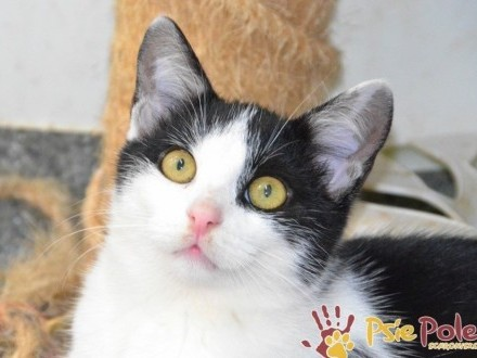 PYŁEK-przepiękny  trochę nieśmiały  młodziutki kotek szuka domu  adopcja