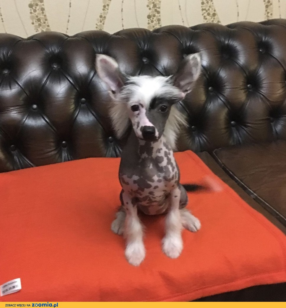 Chiński Grzywacz WENUS piękna suczka wystawowa z rodowodem FCI