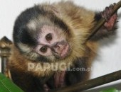 Małpki kapucynki 3-miesięczne