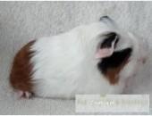 ŚWINKA MORSKA HULIO - rasowy coronet - świnki morskie