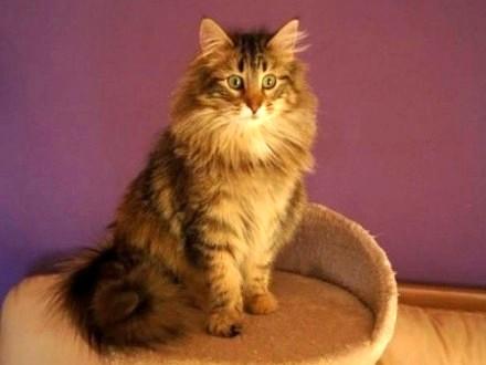 Wybitny Sliczne koty z Hodowli Lenad PL Atrakcyjna NISKA cena « Norweski OR31