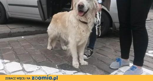 Znaleziono psa Golden Retriever -  (mazowieckie),  mazowieckie Legionowo