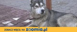 Piekny pies w typie husky syberian do adopcji,  mazowieckie Góra Kalwaria