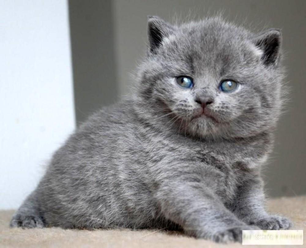 Super Kocię, kot rasowy - ogłoszenia z hodowli. Kociaki, kotki, koty  KK-09